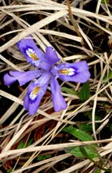 Dwarf Iris at Thompson's Harbor State Park